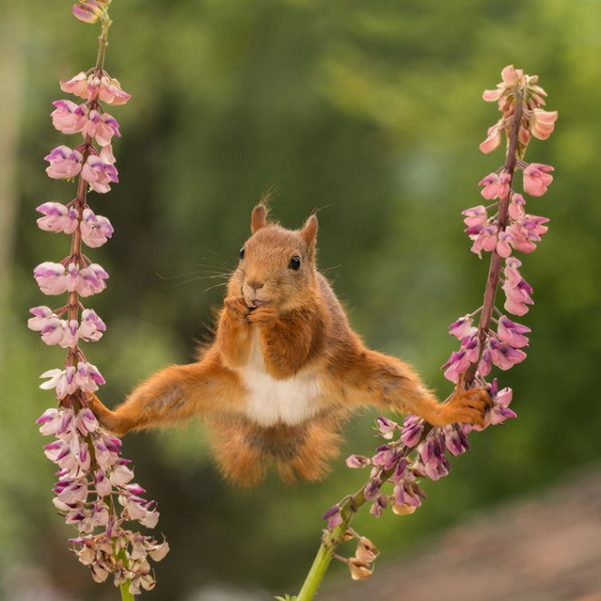 A Wild Red Squirrel In A Split Between Lupines In Bispgarden, Sweden By Geert Weggen