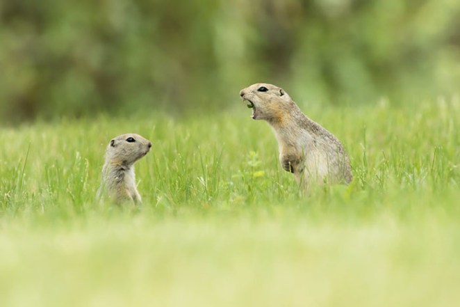 A Mother Ground Squirrel Calls Directly At Her Young Pup In Alberta, Canada By Nick Parayko