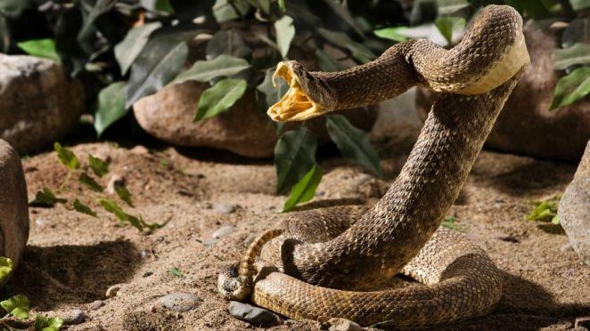 Resultado de imagen para rattlesnake