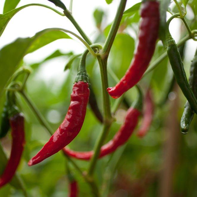 Resultado de imagen para cayenne pepper