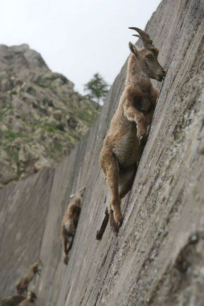 Mountain Goats Don