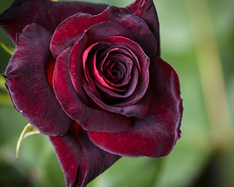 Black Magic Roses