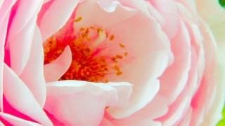 薔薇の魔法【ローズ・メビウス・プログラム】