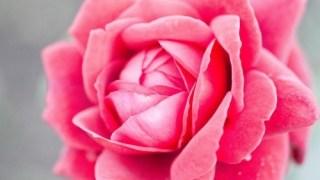 不思議でオモシロい、魔法の薔薇。
