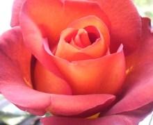 魔法後の薔薇