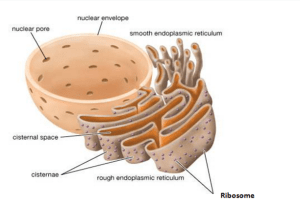 Endoplasmic Reticulum (Rough And Smooth) ER | Biology