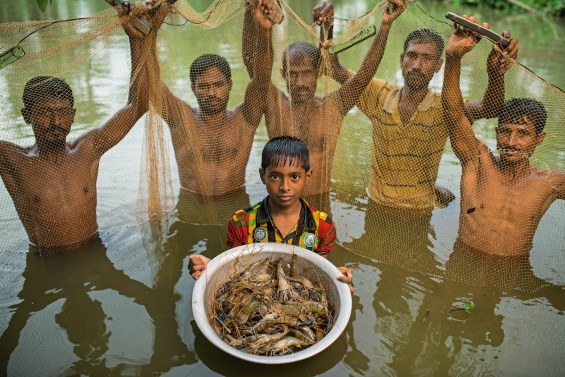 Harvesting prawns in the pond of Halim and his wife Aklima Begum in the village of Molmolia, Dumvnia, Khulna, Bangladesh. The boy is Solaiman, the sone of Halim. Halim hires this crew of men to pull the net through their pond next to their house to collect the prawns. The prawns are extremely valuable, so the family never eats them, instead selling them on the market where they probably end up in the European market. On average a family will net something like $1500-2000 a year from prawns.  Contact for Agricultural Information: Timothy Russell Email:  t.russell@irri.org Phone: +880 2 989  8011  Mobile: 01766931971 IRRI Bangladesh House 9, Road 2/2 Banani, Dhaka 1213 Bangladesh Other IRRI: Bushra Rahman Manager, Communications and Documentation IRRI Bangladesh Office House 9, Road 2/2 Banani, Dhaka 1213 Bangladesh Phone: +880 2 989  8011  +88 2 988 6608 Ext. 104 Mobile: +880 1911 746 250 Email:  b.rahman@irri.org Field Locations for IRRI: A.K.M. Ferdous  Email : a.ferdous@irri.org Cell: +8801715026458 General Contact for WorldFish: Afrina Choudhury Portfolio Support Coordinator/ Gender Specialist T: +880-2- 8813250 M: +88017 154 893 418 House 22B, Rd 7, Block F, Banani F: +880-2-8811151 1213 Dhaka, Bangladesh skype: afrina.choudhury www.worldfishcenter.org Field Locations for WorldFish: Ashoke Kumar Sarker  AK.Sarker@cgiar.org Cell: +8801711375573