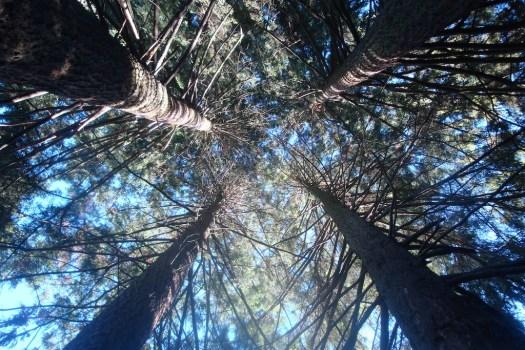4 arbres douglass