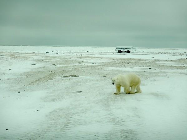 5 large adult male polar bear_11102018_2