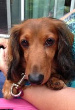 Mr. March: Meet Oscar, Chelsi M.'s long-haired dachshund named after the Oscar Meyer wiener. His favorite things are giving kisses, playing with bunnies (when he catches them), eating and sleep in Kansas.