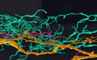 neurons, neuron branches, eyewire