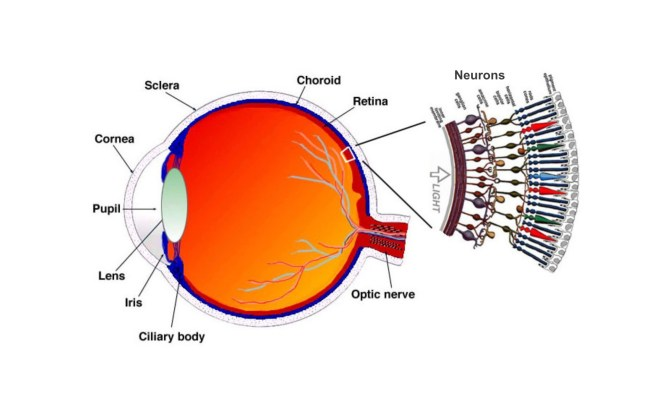retina, neurons