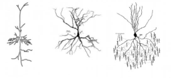 3neuronsdendridicarbor