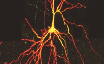 wo-photon microscopy image of a neuron published in PNAS by Holbro N et al. (2009), neuron,