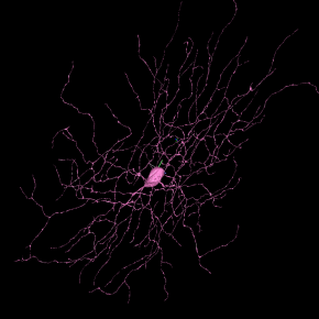 eyewire neurons, 3d neurons, neuron, neuroscience, neuron image, brain, seung lab, eyewire, citizen science, citizen neuroscience