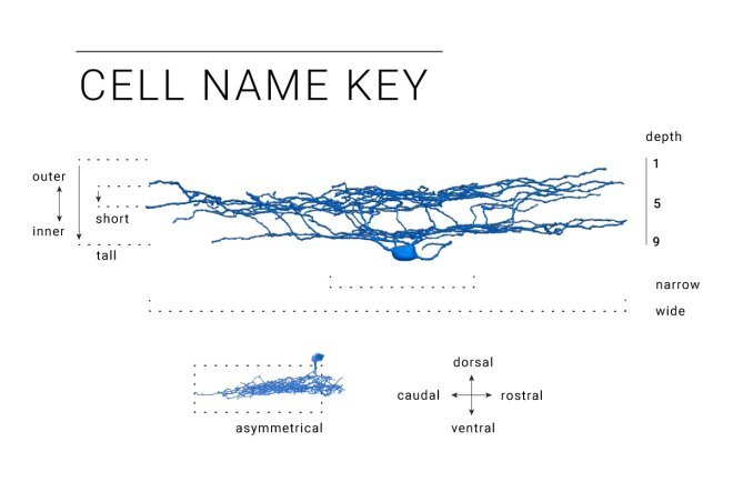 ganglion, cell, neuron, retina, retinal, classification, eyewire, Eyewirers, citizen science, neuroscience, Amy Sterling