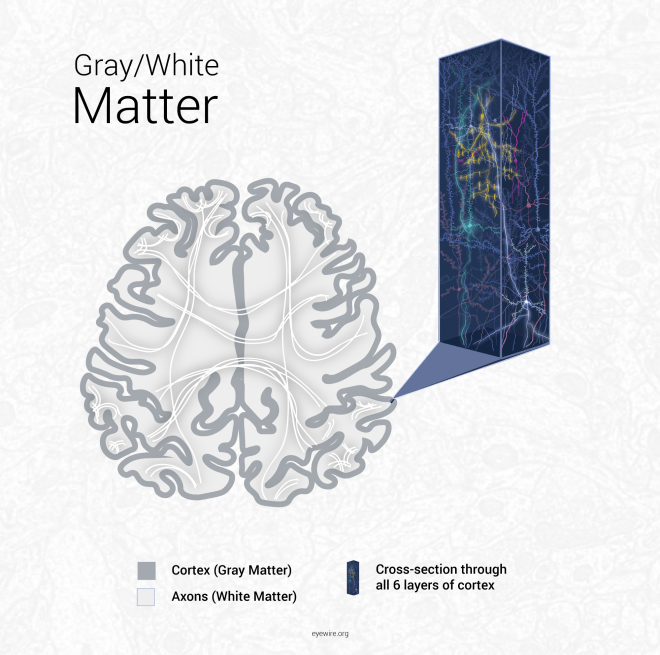 grey matter, gray matter, axons, cortex, white matter, cortical neurons, cortical layers, cortex layers