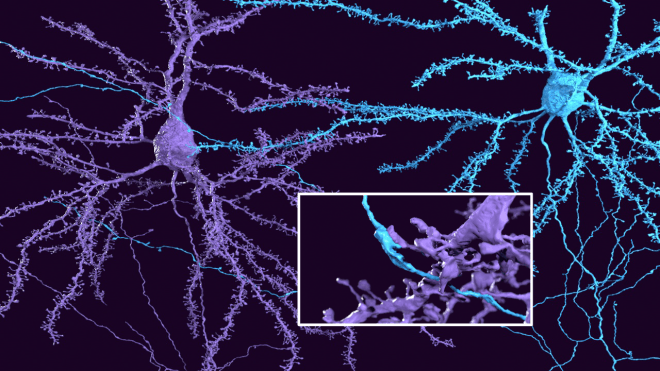 synapse, neurons, citizen science, pinky, microns, iarpa, cortex, pyramidal neurons, science art, visualization, Amy Sterling