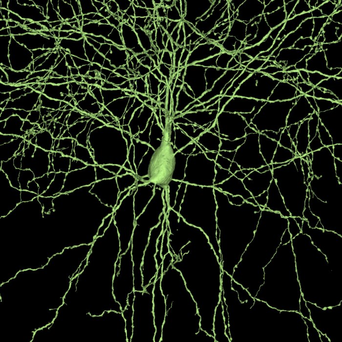 basket cell, iarpa microns, MICrONS, machine intelligence cortical networks, AI, artificial intelligence, connectome, connectomics