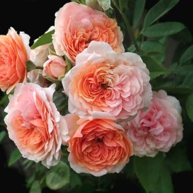 David Austin Roses | FarEastFlora.com