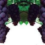 Vinoxin X Resveratrol os benefícios do vinho em cápsulas #Artigo