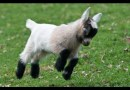 Funny Places Goats Like to Climb