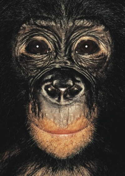 Bonobo not so peace-loving