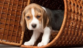 Beagle in basket