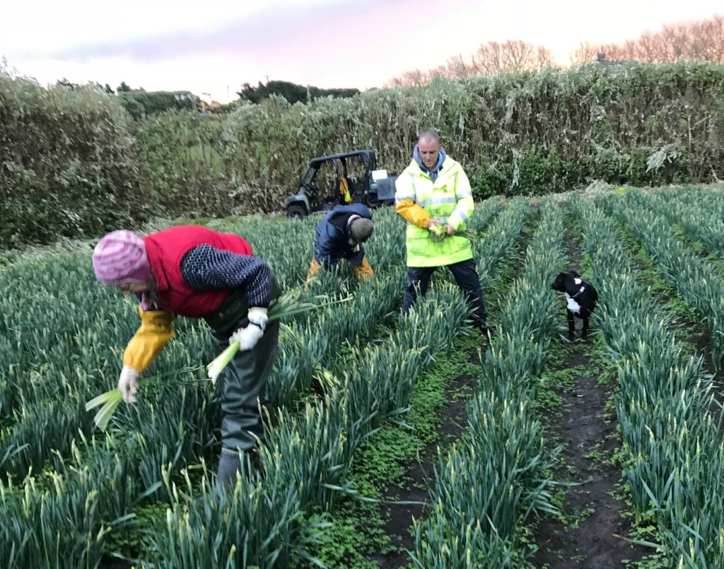 Harvesting narcissi by hand