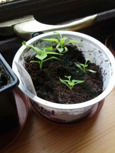 Apache chillies