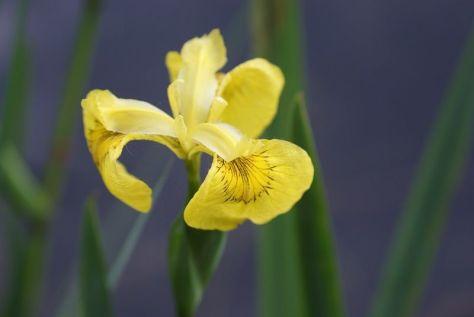 Wasserlilie Blume