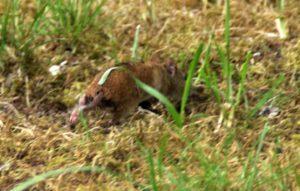 Die Maus hat eine nahezu identische DNA