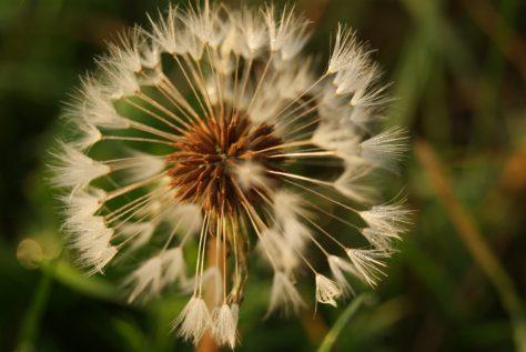 Löwenzahn Pusteblume Blume