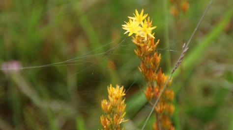 Moorlilie Moor Pietzmoor