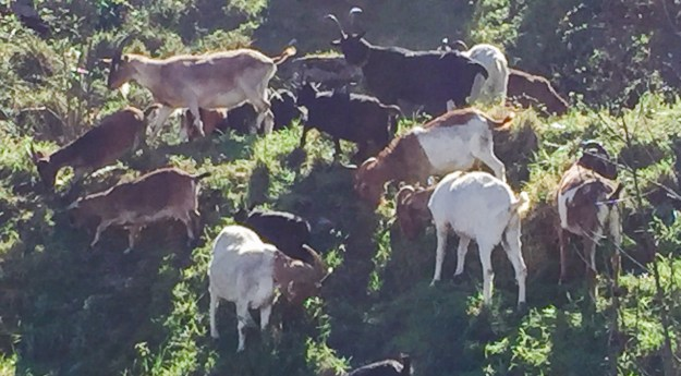 Goats working in Tacoma