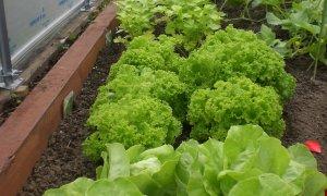 Recipe for Lettuce soup