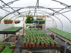 Polytunnel full of plants