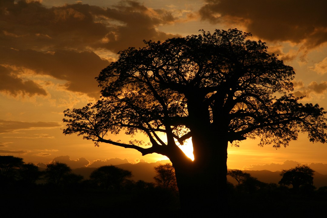 Baobab Tree used for Baobites