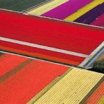 FOTOS DE PLANTACIONES DE TULIPANES EN HOLANDA