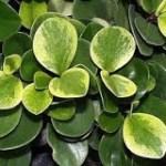 PEPERONIA: UNA PLANTA SUTIL