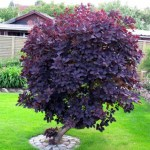 COTINUS COGGYRIA 'ROYAL PURPLE'