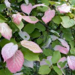 ACTINIDIA ORNAMENTAL