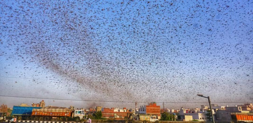 locust swarms in India