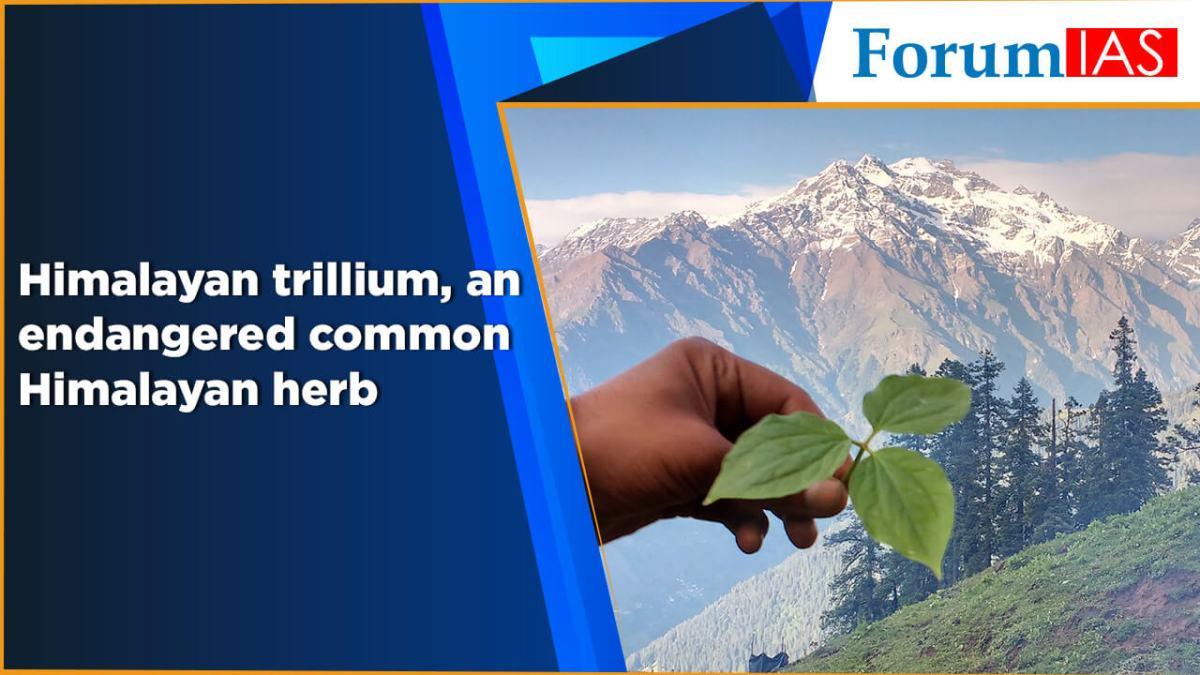 Himalayan trillium, an endangered common Himalayan herb