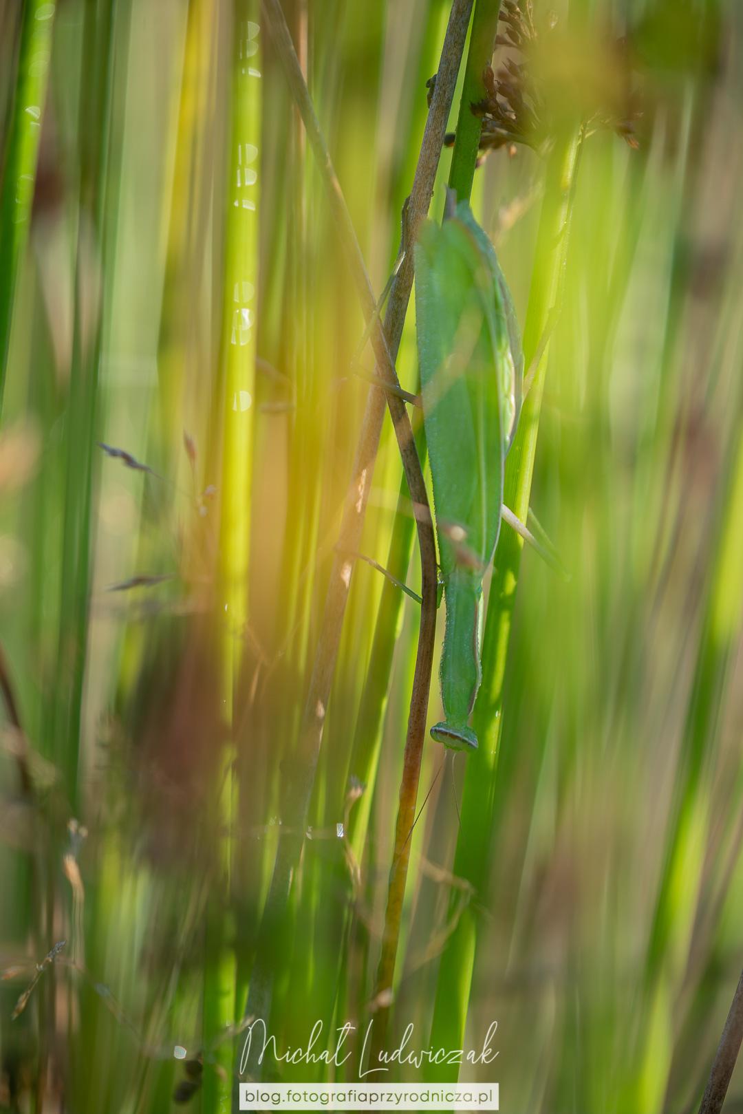Modliszka (mantis religiosa)