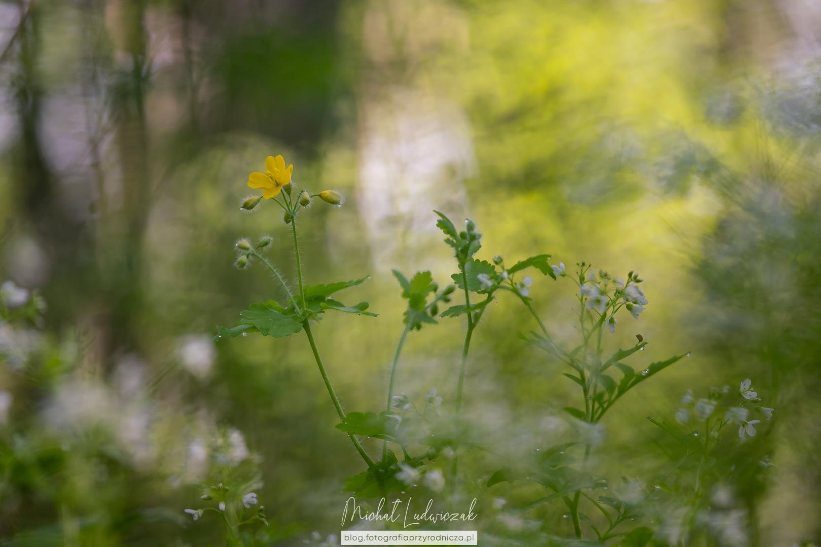 Jaskółcze ziele