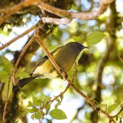 Le bellbird, un oiseau que vous entendrez bien avant de l'entrapercevoir !