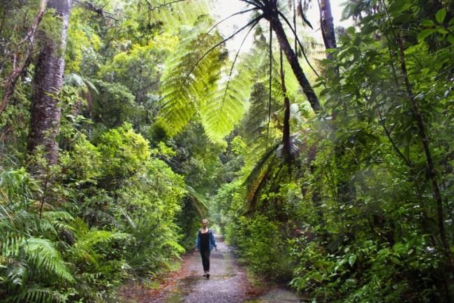 kauri-tree-waipoua - expérience Maori en Nouvelle Zelande