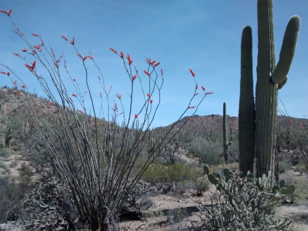 blooming Ocotillo