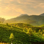 indian tea fields